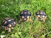Breitrandschildkröten 11cm - 14cm zu verkaufen