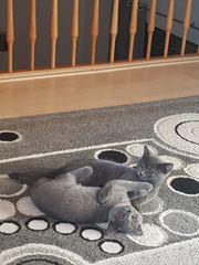 Reinrassige BKH baybi Katzen