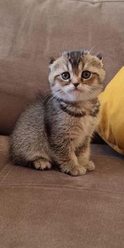 BKH Mix Kitten Klappohren Scottish
