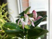 Orchideenmantis Wandelnde Blätter Asseln und