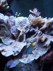 Meerwasser Ableger SPS Acropora Montipora