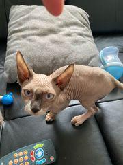 Sphynx Kitten reinrassig Abgabebereit