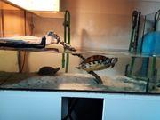 Wasserschildkröten 2 Stück