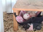 skinny meerschweinchen