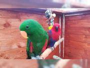 Edelpapagei-Papageien aus dem Jahr 2019