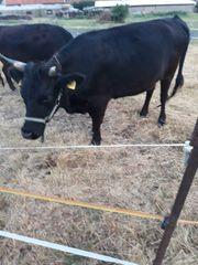 zwei tragende Dexter Kühe