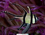 Meerwasser -Thüringer Korallen - Zoanthus Röhrenkoralle