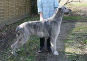 Irish Wolfhound Welpen VDH