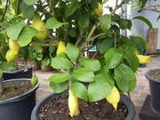 Zitrone Böhmen zum verkaufen