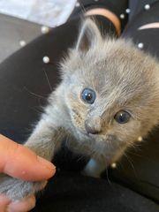 Katzenbabys Russisch Blau
