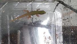 Reptilien, Terraristik - Phelsuma laticauda Goldstaubtaggecko