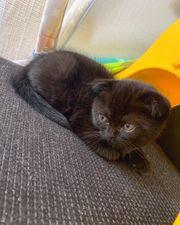 BKH Kitten - Scottish Fold