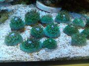 Fungia blau LPS Korallen Meerwasser