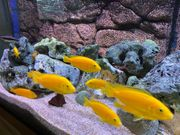 Malawi Buntbarsche Labidochromis caeruleus yellow