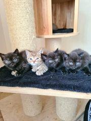 Bezaubernde Britisch Kurzhaar Kitten katzenbabys