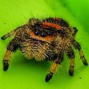 Springspinnen Phidippus Regius Weibchen subadult
