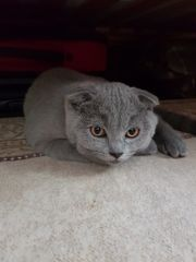 BKH scottish Fold Kater 14