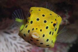 Meerwasser Ostracion cubicus Kofferfisch 5cm