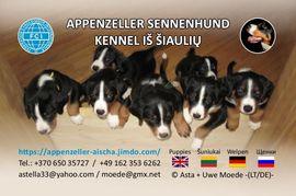 Appenzeller Sennenhund - Welpen: Kleinanzeigen aus Frankenau - Rubrik Hunde