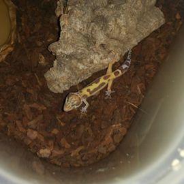 leopardgecko 1,0