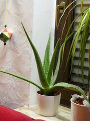 Aloe Vera Pflanzen Blatt
