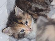 Norwegische Waldkatzen Kitten