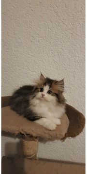 Wunderschöne Reinrassige Perser Baby mit