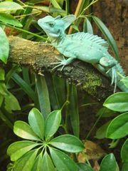 Stirnlappenbasilisken Pärchen Männchen weibchen