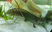 Axolotl Wildling Männchen