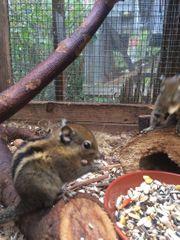 Junge handzahme Streifeneichhörnchen