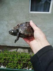 Mississippi Höckerschildkröten