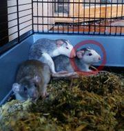 Rattenbaby weiblich abzugeben