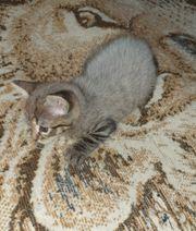 2 Bkh Kätzchen noch zuhaben