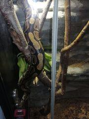 3 Königspyton Schlangen