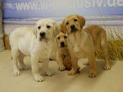 Labradorwelpen Tolle Familienhunde