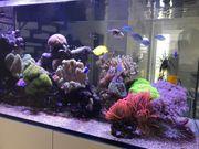 Ableger einiger Korallen