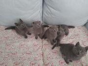 BKH Kitten Blue reinrassig
