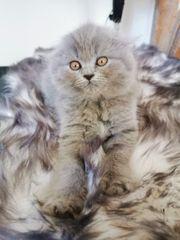 Blh Bkh Scottish fold Kitten