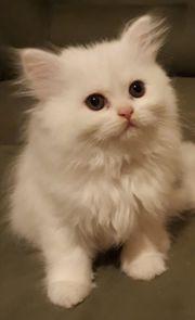 Wunderschöne Perser Babys