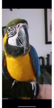 Suche zahmen Ara Papagei