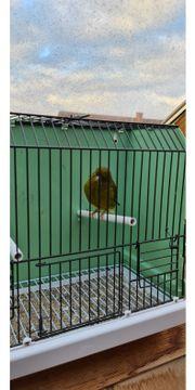 Kanarienvögel gloster