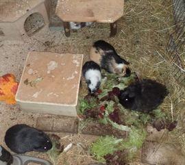 Kleintiere - Meerschweinchen Frühkastrate aus Vereinszucht