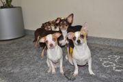 Zierliche Chihuahua Welpen