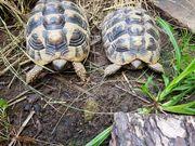2 männl Griech Landschildkröten Recerviert