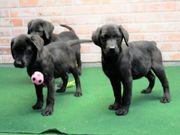 Familien freundliche Labrador Welpen