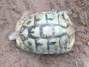 Weibliche griechische Landschildkröte