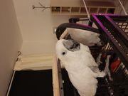 Weißhaubenkakadu Weißhauben Kakadu