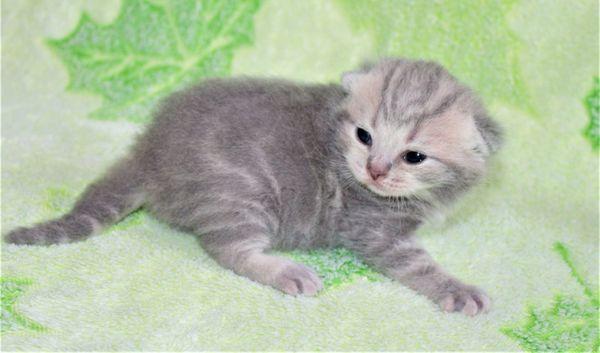 BKH Kitten Britisch Kurzhaar Kätzchen