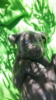 Labradorwelpen in silber und charcoal