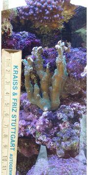 stein korale SPS